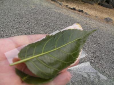 梅の茶屋のさくら餅